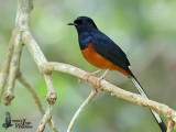 Adult male White-rumped Shama