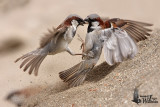 Fighting male House Sparrows