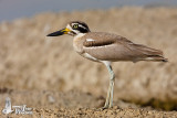 Adult Great Stone-curlew