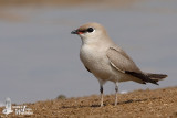 Adult Small Pratincole