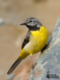 Adult male Grey Wagtail