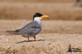 Adult River Tern