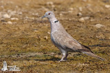 Adult Eurasian Collared Dove