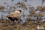 Male Ashy-crowned Sparrow-Lark