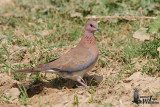Adult Laughing Dove