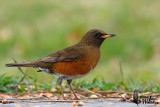 Adult male Brown-headed Thrush