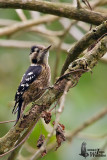 Adult male Grey-capped Pygmy Woodpecker