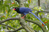 Adult Taiwan Blue Magpie