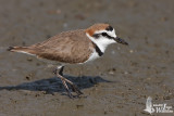 Adult male Kentish Plover
