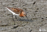 Adult Red-necked Stint in breeding plumage