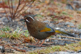 Adult White-whiskered Laughingthrush