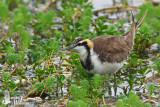 Adult Pheasant-tailed Jacana in non-breeding plumage