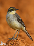 First winter male Eastern Yellow Wagtail (ssp. taivana)