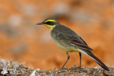 Male Eastern Yellow Wagtail (ssp. taivana)
