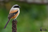 Adult Long-tailed Shrike (ssp. schach)