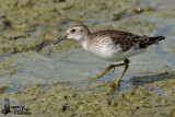 Adult Long-toed Stint in non-breeding plumage