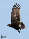 First winter Greater Spotted Eagle in flight