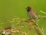 Scaly-breasted Munia feeding on rice