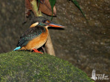 Female Blue-banded Kingfisher on a mossy stone