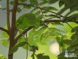 Unidentified Green Leafbird