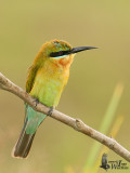 Juvenile Blue-tailed Bee-eater