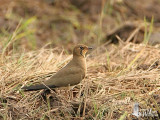 Oriental Pratincole roosting in a rice paddy