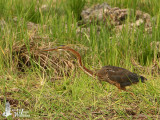 Purple Heron (ssp. manilensis) hunting in a rice paddy