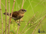 Immature Scaly-breasted Munia feeding on rice