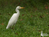 Adult Eastern Cattle Egret in non-breeding plumage with small prey