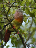 Adult male Pink-necked Green Pigeon