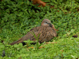 Adult Spotted Dove (ssp. tigrina)