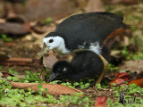 Adult White-breasted Waterhen (ssp. phoenicurus) with chick
