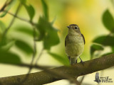 Immature (first winter) Yellow-rumped Flycatcher