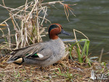 Adult male Eurasian Teal (ssp. crecca) in breeding plumage