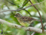 Female Black-faced Bunting