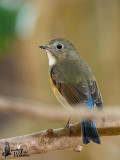 Female Red-flanked Bluetail