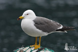 Adult Black-tailed Gull