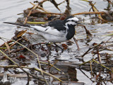 Male White Wagtail of subspecies lugens