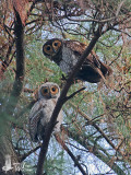 Adult Spotted Wood Owl (ssp. seloputo) with chick