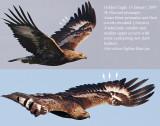 Golden Eagle (Aquila crysaetos) Age 3K, Kungsörn.