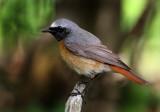 Common Redstart (Phoenicurus phoenicusrus),