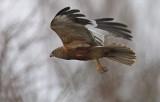 Western Marsh Harrier (Circus aeruginosus), Brun kärrhök