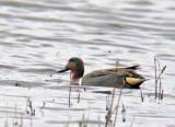 Amerikansk Kricka vid fågeludden Hornborgasjön 2010-04-25