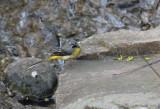 Grey Wagtail  Forsärla  (Motacilla cinerea)