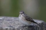 Spotted Flycatcher  Grå flugsnappare  (Muscicapa striata)