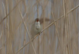 European Reed Warbler  Rörsångare  (Acrocephalus scirpaceus)