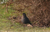 Common Blackbird  Koltrast  (Turdus merula)