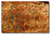 Coquelicots Frisson d'Or