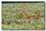 Coquelicots Onde rouge