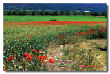 Coquelicots Balade Au Champ